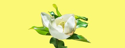 Красивый бутон цветка магнолии на ультрамодной неоновой желтой предпосылке Концепция лета весны с белым цветением магнолии Селект стоковые изображения rf