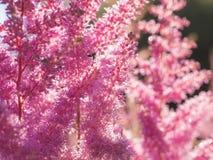 Красивый Буш Astilbe цветков Стоковые Фото