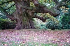 Красивый величественный гигантский дуб стоковое фото