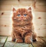 Красивый великобританский длинный котенок волос стоковые изображения