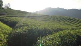 Красивый взгляд панорамы ландшафта плантации чая 101 в ярком дне на предпосылке голубого неба, достопримечательности на салоне Do сток-видео
