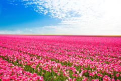 Красивый взгляд розовых тюльпанов, Нидерланды поля Стоковые Изображения RF
