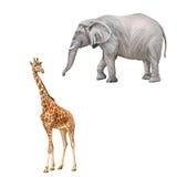 Красивый взрослый жираф смотря нас, afoul Стоковое Изображение