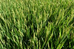 Красивый вид для того чтобы позеленеть лагерь риса в солнечном летнем дне стоковое изображение rf