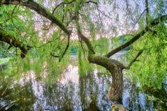 Красивый вид изолированного дерева с зеленым цветом выходит над озером Стоковая Фотография
