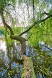 Красивый вид изолированного дерева с зеленым цветом выходит над озером Стоковые Изображения RF