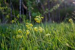 Красивый вид лужайки с желтыми цветками cowslip стоковое фото rf
