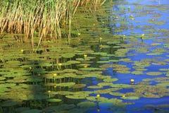 Красивый вид синей воды озера с лилиями воды и зеленой осокой на заходе солнца Шикарная предпосылка ландшафта природы стоковое изображение rf
