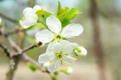 Красивый вишневый цвет весной вал листва цветения предпосылки померанцовый Стоковое фото RF