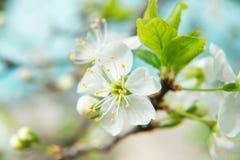 Красивый вишневый цвет весной вал листва цветения предпосылки померанцовый Стоковые Фотографии RF