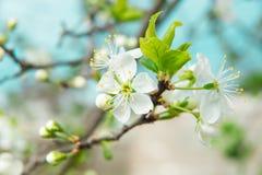 Красивый вишневый цвет весной Природа Стоковое фото RF