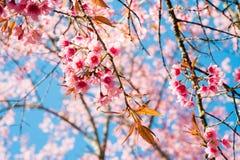 Красивый вишневый цвет в северной Таиланда стоковые фотографии rf