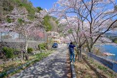 Красивый вишневый цвет или розовый сезон дерева цветка Сакуры весной на kawaguchiko озера, Yamanashi, Японии ориентир и популярно стоковые фотографии rf