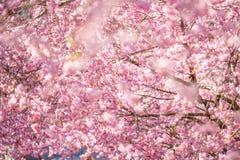 Красивый вишневый цвет на солнечный весенний день стоковые изображения rf