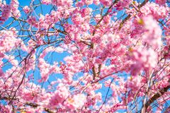 Красивый вишневый цвет на солнечный весенний день стоковое изображение