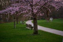 Красивый вишневый цвет Сакура в английском саде в Мюнхене стоковые фотографии rf