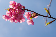 Красивый вишневый цвет Таиланда Стоковые Изображения
