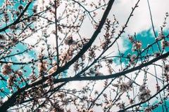 Красивый вишневый цвет цветка Сакуры весной цветок дерева Сакуры на голубом небе стоковые изображения