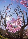 Красивый вишневый цвет стоковые изображения rf