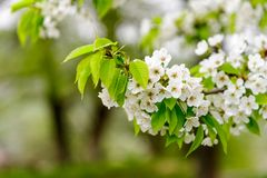 Красивый вишневый цвет & x28; Avium& x29 Cerasus; весной время в природе конец вверх стоковая фотография rf