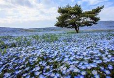 Красивый вид голубых глазов младенца nemophila цветет на парке взморья, Ibaraki стоковые изображения rf