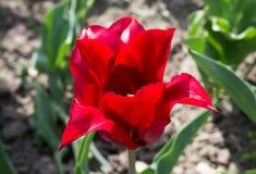 Красивый вид красного тюльпана под ландшафтом солнечного света на середине весны или лета Стоковые Фотографии RF