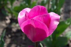 Красивый вид красных тюльпанов под ландшафтом солнечного света на середине весны или лета Стоковое Изображение