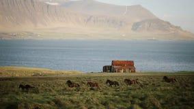 Красивый вид северной природы Табун одичалых исландских лошадей бежать в галопе через поле около старого дома акции видеоматериалы