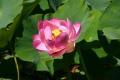 Красивый восточный одичалый лотос растет в озере Стоковые Фотографии RF