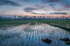 Красивый восход солнца с полями риса Стоковая Фотография
