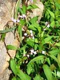 Красивый въетнамский цветок кориандра Стоковые Фотографии RF