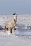 Красивый галоп бега лошади в снеге зимы Стоковое Изображение