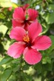 Красивый гибискус rosa в зиме стоковая фотография rf
