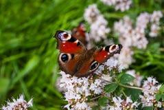 Красивый глаз павлина бабочки, Aglais io, в саде со светлым - пурпурные цветки душицы стоковые фотографии rf