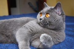 Красивый голубой великобританский кот с оранжевыми глазами лежа на голубой софе схватывая его ногу и смотря к левой стороне стоковое изображение rf