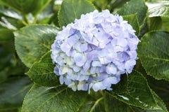 Красивый голубой цветок гортензии Стоковые Изображения RF