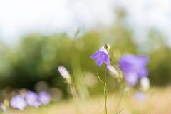 Красивый голубой цветок лета Стоковое Изображение RF