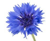 Красивый голубой cornflower изолированный на белой предпосылке Селективный фокус стоковые фото