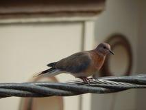 Красивый голубь на электрическом проводе стоковое фото
