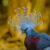 Красивый голубь увенчанный Викторией гордо показывает его головной убор стоковая фотография rf