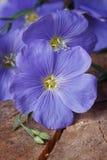 Красивый голубой лен цветет макрос на старое деревянном стоковые фотографии rf