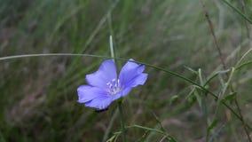 Красивый голубой цветок вырос вверх в древесинах Стоковое фото RF