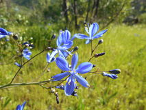 Красивый голубой цветок на луге в древесинах Стоковая Фотография