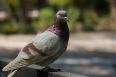 Красивый голубь голубя Стоковое Изображение