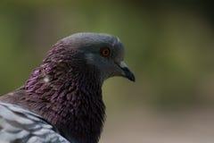 Красивый голубь голубя Стоковые Изображения RF