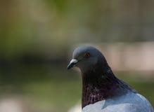 Красивый голубь голубя Стоковая Фотография RF