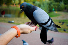 Красивый голубь сидит штилев на руке человека Стоковое Изображение
