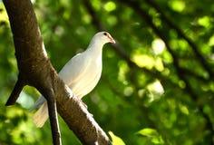 Красивый голубь wite на ветви Стоковое фото RF
