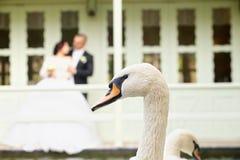 Красивый грациозно лебедь белизны птицы Стоковое Изображение