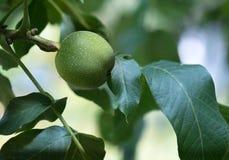 Красивый грецкий орех в зеленой корке стоковое фото